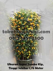 Bingkisan-Pohon-Jeruk-Kingkit-Super-jumbo-kip-1.75m