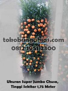 Jual-Pohon-Jeruk-Kingkit-Super-jumbo-2.3-chusa