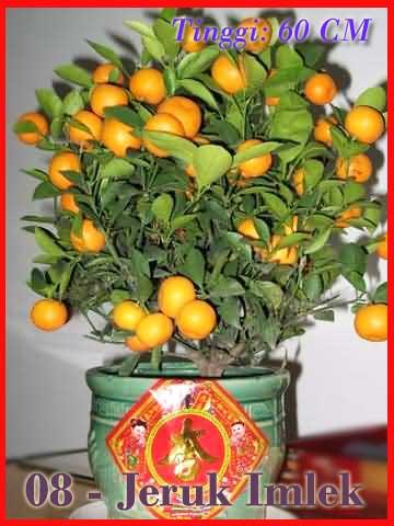 Bingkisan Pohon Jeruk Imlek Dalam Pot