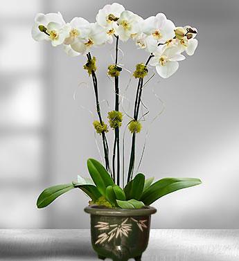 Bunga Anggrek Bulan Spesial Valentine 2013